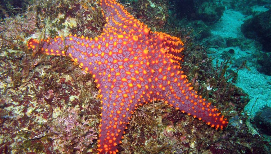 Panamic cushion starfish