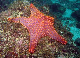 Panamic cushion starfish