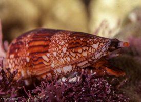 Conus dalli, San Carlos, Sonora Mexico